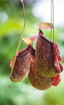Nepenthes ampullaria, a carnivorous plant - бесплатный image #333281