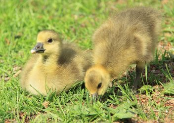 Ducklings on green grass - image #333811 gratis
