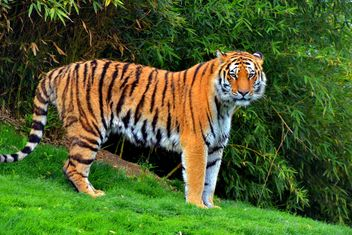 tiger in park - image #334791 gratis