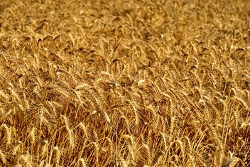 Golden wheat field - image gratuit #334801