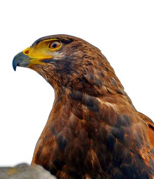 Brown hawk - image gratuit #334811
