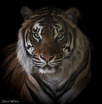 Save the Tiger - Free image #335931