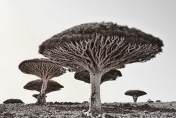 Dragon's Blood Trees, Socotra Is. - Kostenloses image #336301