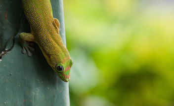 Gold Dust Day Gecko Haleiwa Hawaii - Free image #337431