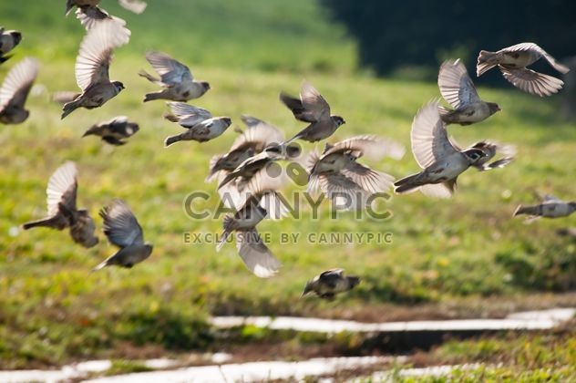 Sparrows flying over meadow - image gratuit #337471