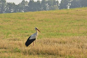 Stork in summer field - бесплатный image #337491
