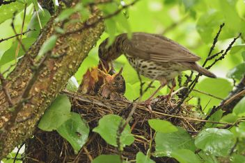 Thrush and nestlings in nest - Free image #337571