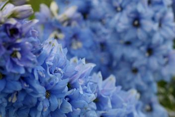 Closeup of blue flowers - Free image #337921
