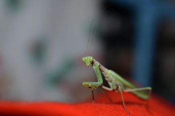 Praying Mantis closeup - бесплатный image #338271