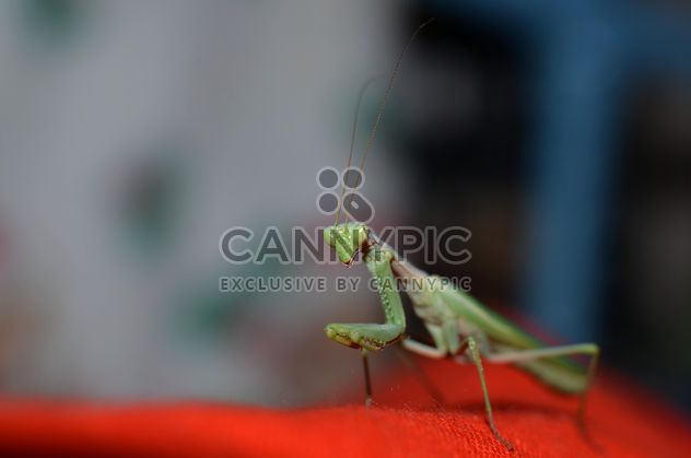 Praying Mantis closeup - image #338271 gratis
