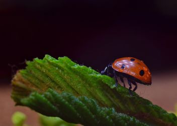 Ladybug on green leaf - Free image #338301