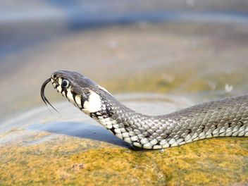 Grass snake on stone - image #341291 gratis