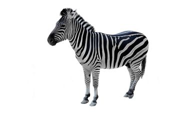 Zebra on white background - image gratuit #341301
