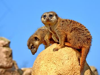 Meerkats on stone in zoo - Free image #341321