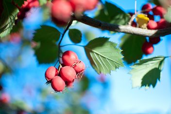 hawthorn on the tree close up - image gratuit #342471