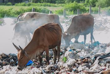 cows on landfill - image #343841 gratis