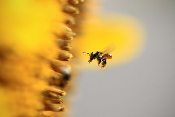 Closeup of bee flying near sunflower - бесплатный image #345021