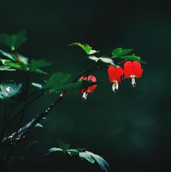 Small red flowers on twig in garden - image gratuit #345121