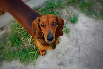 Portrait of brown dachshund dog - image #346191 gratis