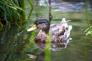 Wild brown duck in water - image gratuit #346901