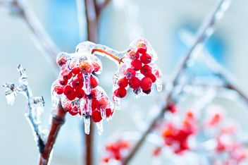 Rowan berries covered with ice in winter - Free image #347331