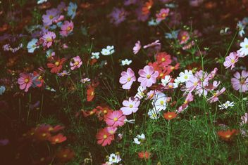 Colorful cosmos flowers in garden - Free image #347801