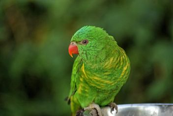 Beautiful green lorikeet parrot - image gratuit #348441