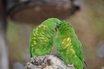 Pair of green lorikeet parrots - image gratuit #348471
