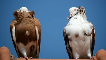 Pair of brown and white pigeons - бесплатный image #348491