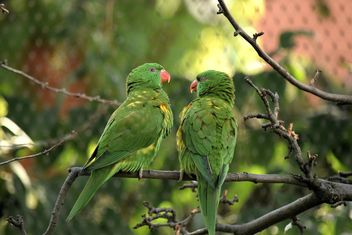 Pair of green lorikeet parrots on branch - бесплатный image #348521
