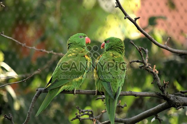 Pair of green lorikeet parrots on branch - Free image #348521