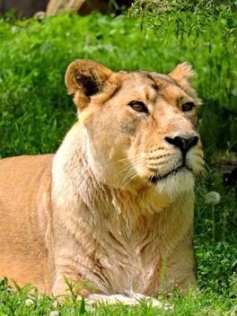 Portrait of lioness resting on green grass - Free image #348621