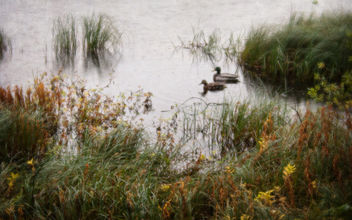 A Pair of Mallards - image #351611 gratis