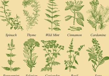 Spices And Herb Vectors - vector gratuit #352411