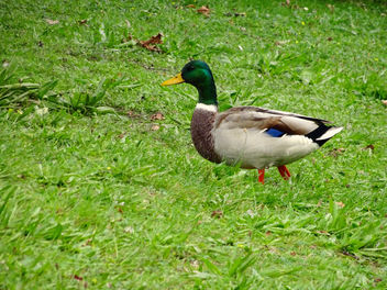 Walking duck - image gratuit #356691