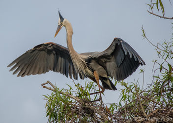 Great Blue Heron - image #359441 gratis