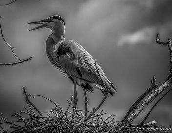 Great Blue Heron - image #361361 gratis