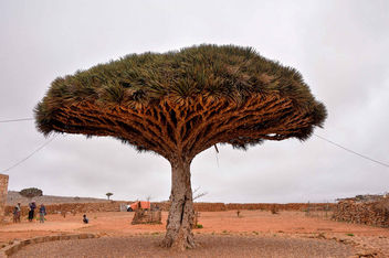 Dragon's Blood Tree, Socotra Is. - бесплатный image #361491