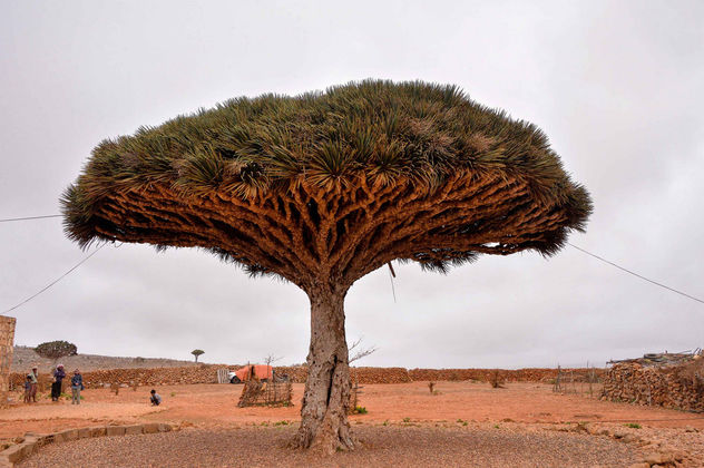 Dragon's Blood Tree, Socotra Is. - image gratuit #361491
