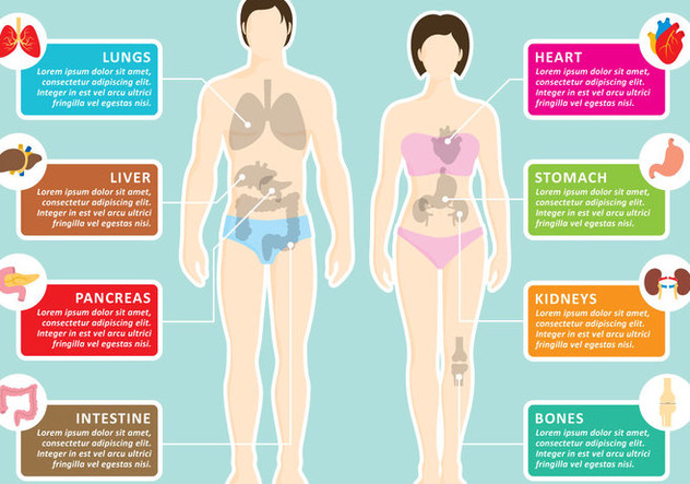 Human Organs Infography - Kostenloses vector #361791