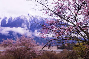 peach blossom in Nyingchi, Tibet - image gratuit #362381