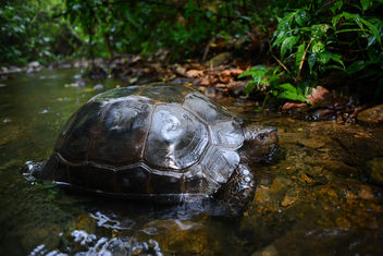 Manouria emys, Asian forest tortoise - Kaeng Krachan National Park - Free image #363791