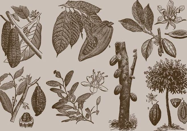 Cocoa Beans - Free vector #365961
