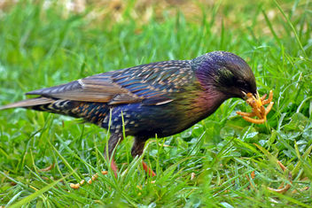 #10 Starling with hungry young! - Free image #366021