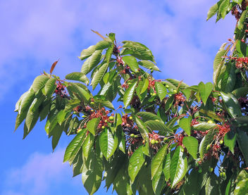 Macedonia-Still unmatured cherries - Free image #370741