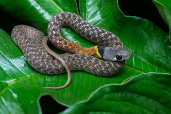Rhabdophis subminiatus, Red-necked keelback - Kaeng Krachan National Park - бесплатный image #371491