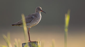 Tureluur / Tringa totanus / Common redshank - бесплатный image #372261