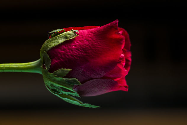 Little Red Rose - Free image #376441
