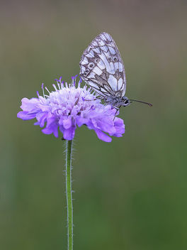 Marbled White - image gratuit #380171