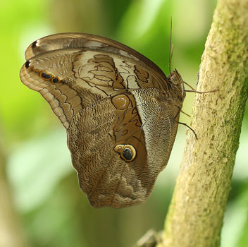 Giant Owl Butterfly - image #382421 gratis